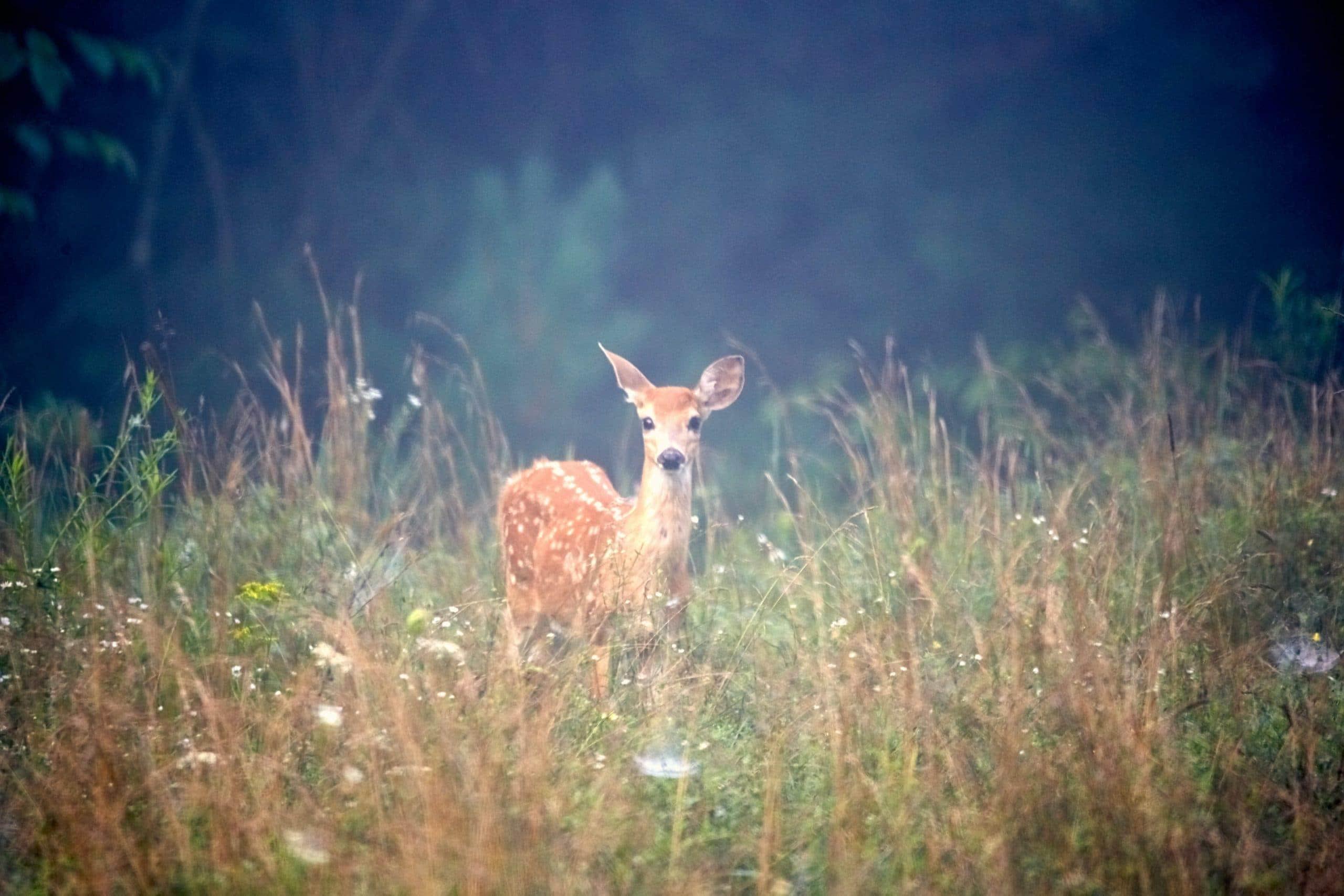 Deer Tick Bite - Lyme Disease - Drink Phyllanthus niruri Tea - Linden Botanicals