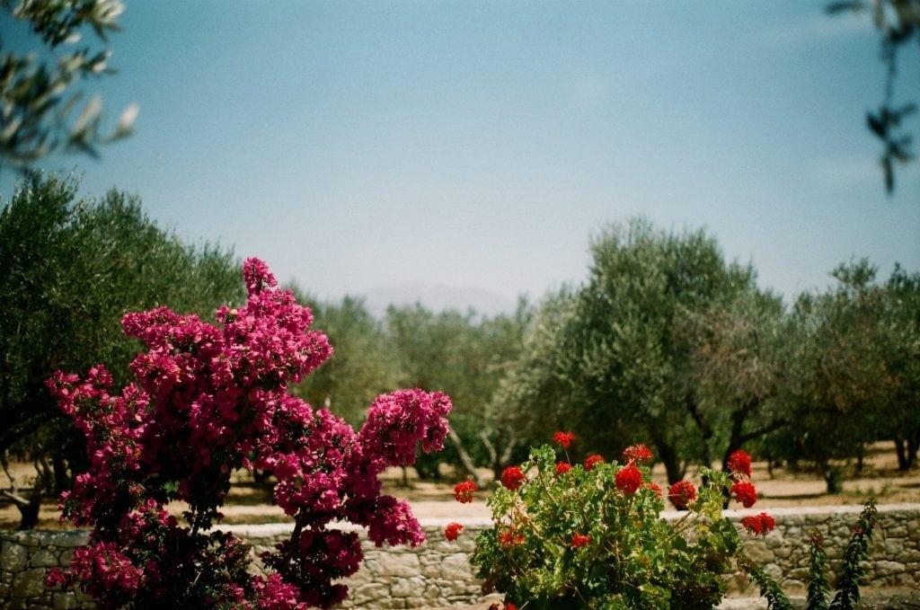 Linden Botanicals Cistus Rock Rose Tea: Cistus incanus from Crete