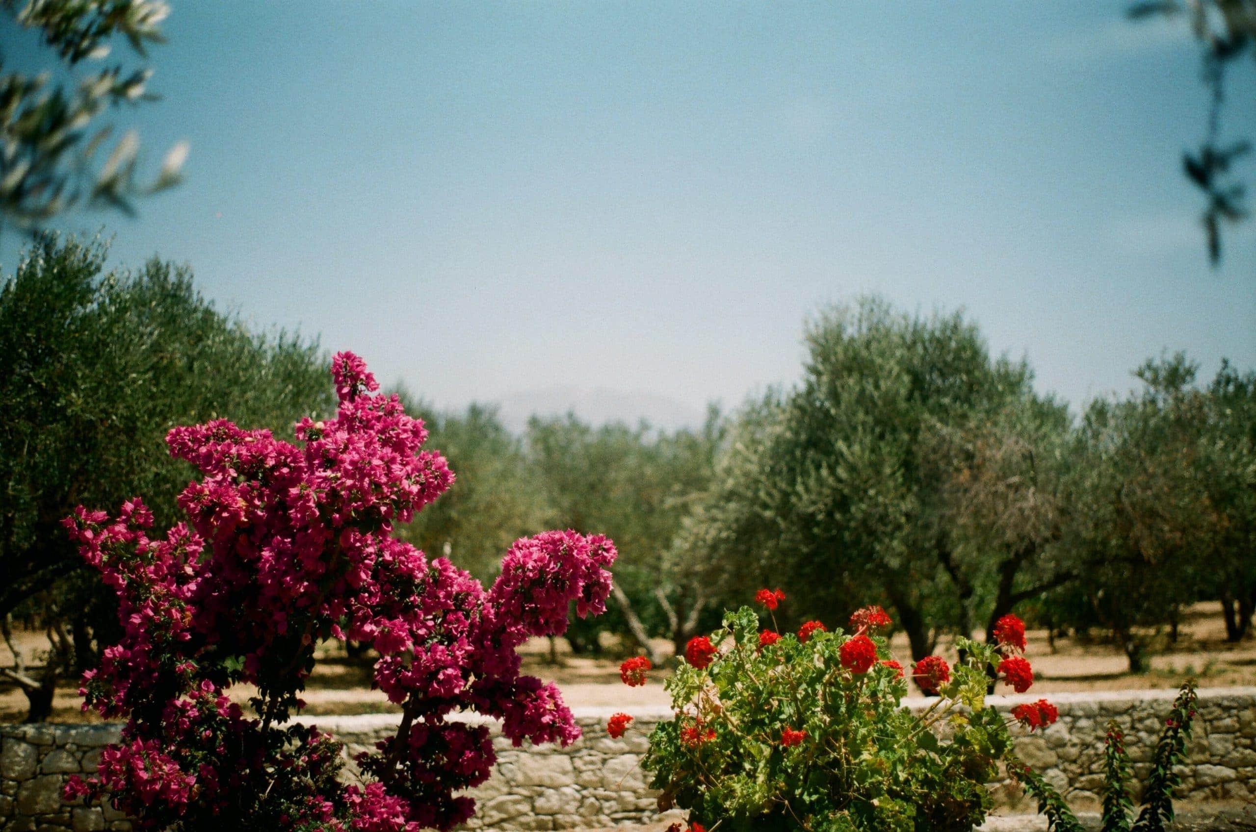 Linden Botanicals Cistus incanus from Crete