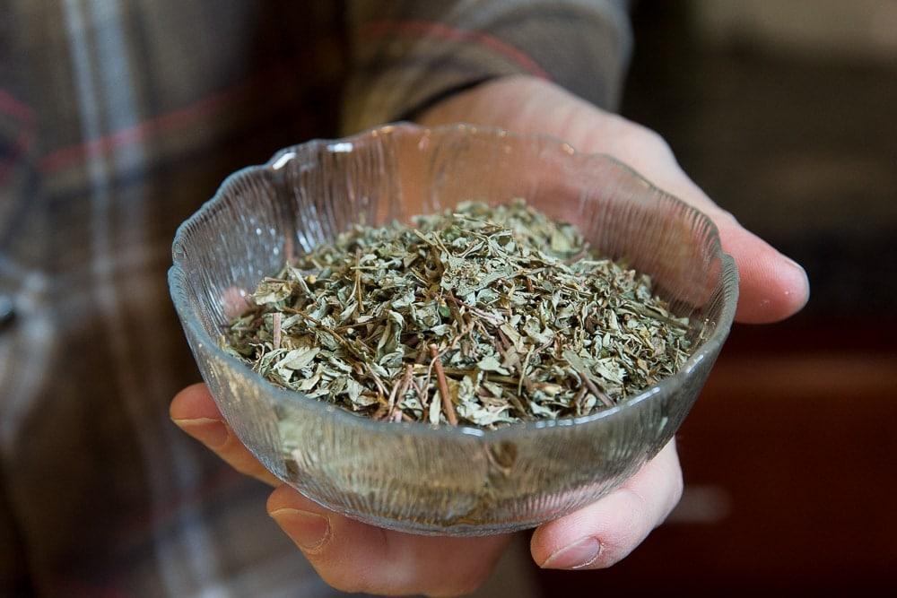 Phyllanthus niruri - Chanca Piedra