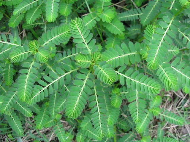 Phyllanthus kidney clear stonebreker