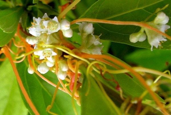 Semen cuscutae - Dodder Seed - Linden Botanicals