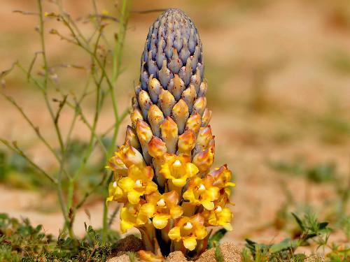 desert hyacinth cistance