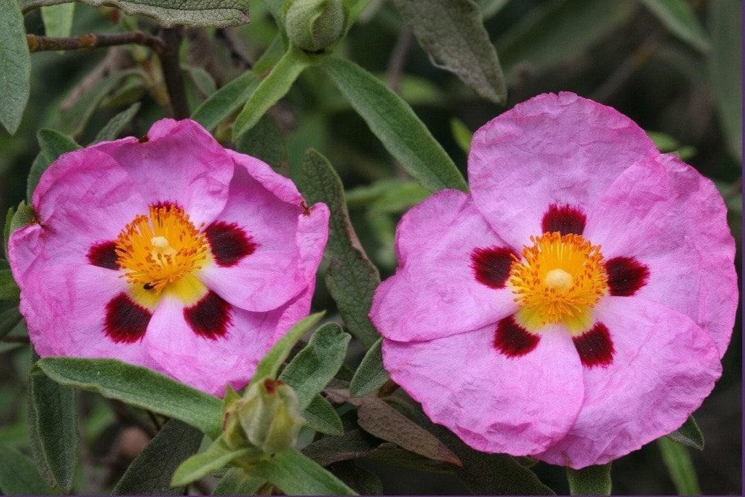 cistus incanus tea - Linden Botanicals