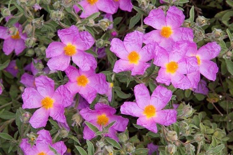 Cistus incanus (Rock Rose) - Linden Botanicals