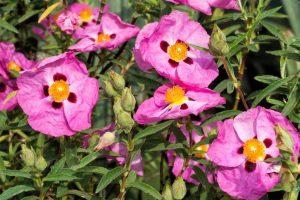 Cistus plant - Cistus incanus - Linden Botanicals