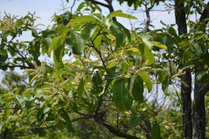 Haritaki Extract, Linden Botanicals