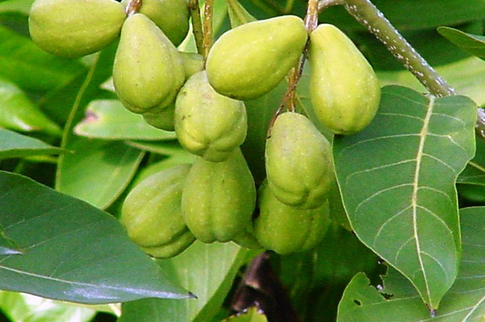 Digestive Problems Got You Down? Try Terminalia and Phyllanthus Teas.