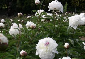 Anti Inflammatory Support - Linden Botanicals