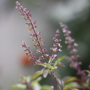 Natural Anxiety Relief - Tulsi - Ocimum sanctum - Linden Botanicals
