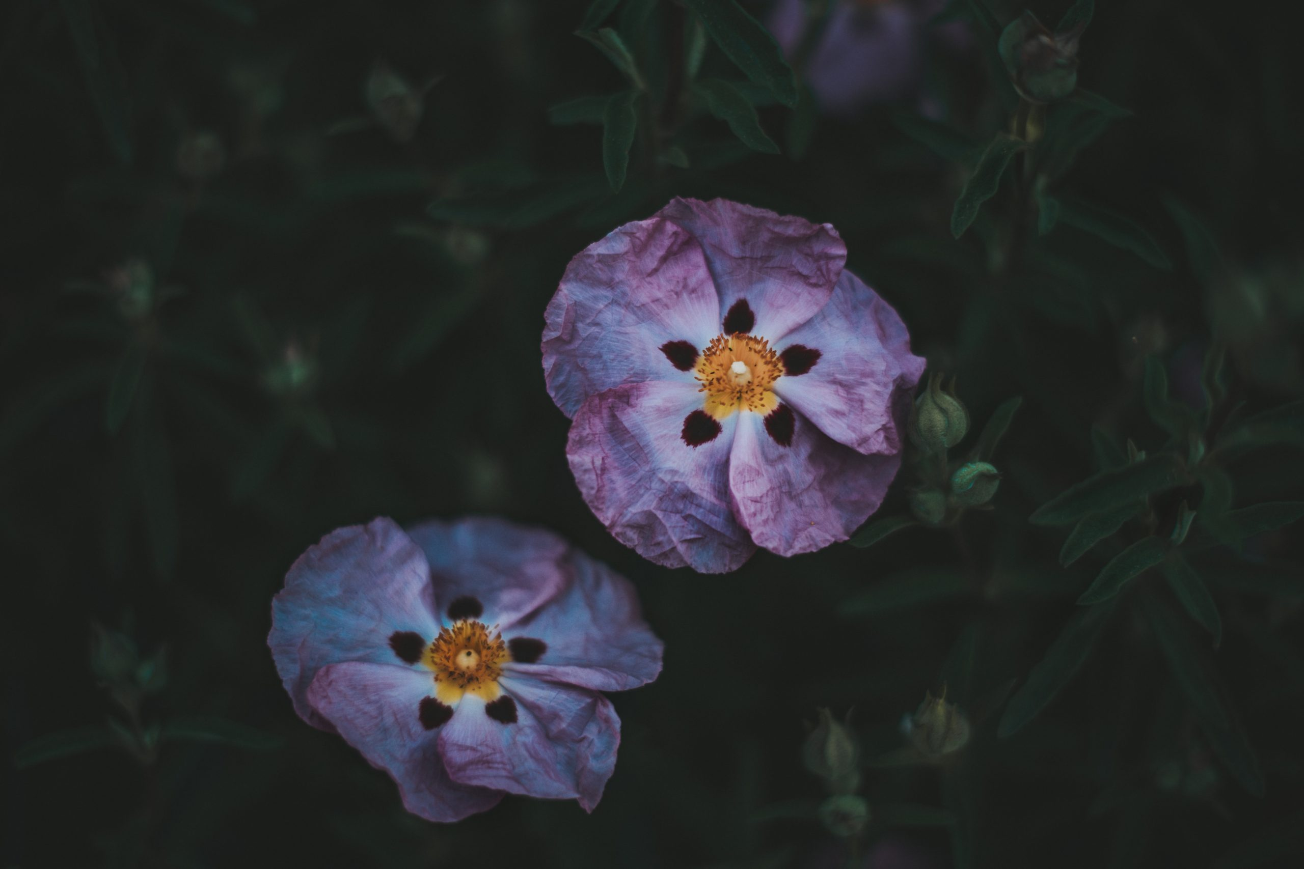 What is Cistus good for? Immune Support and Mosquito Repellant - Linden Botanicals