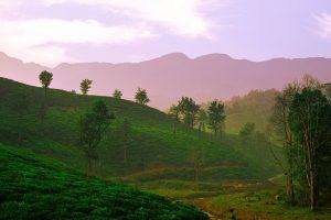 Holy Basil Tea - kerala india - Linden Botanicals