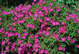 Tick Repellant Plants - Cistus creticus