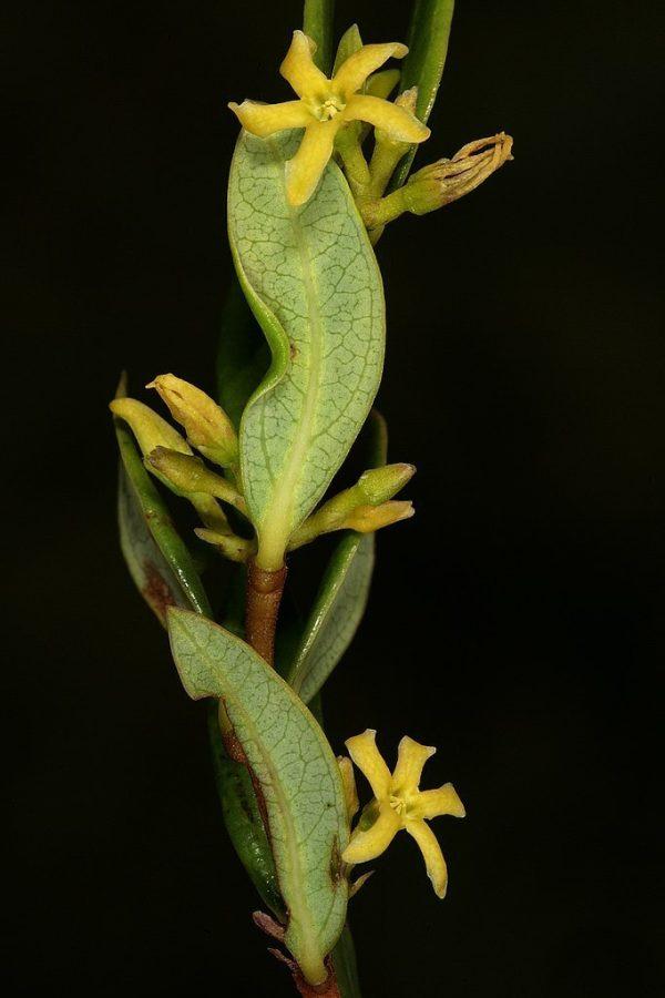 cryptolepis sanguinolenta FAQ - Linden Botanicals
