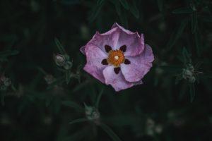 Rock Rose Plant (Cistus incanus) Health Benefits