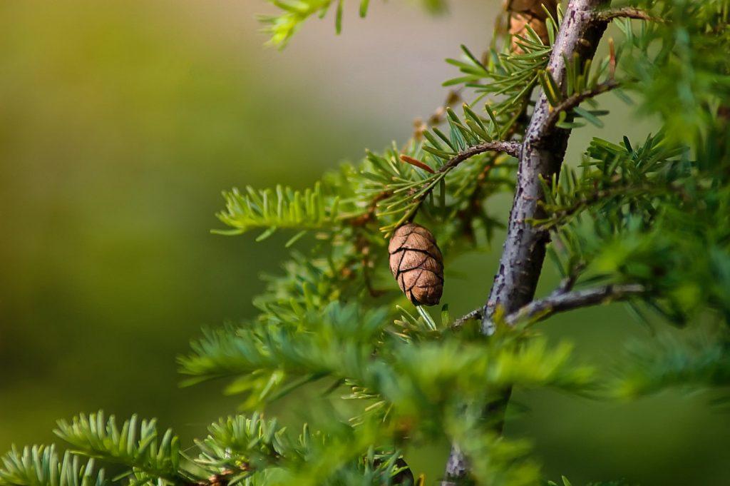 agarikon mushroom benefits - Linden Botanicals