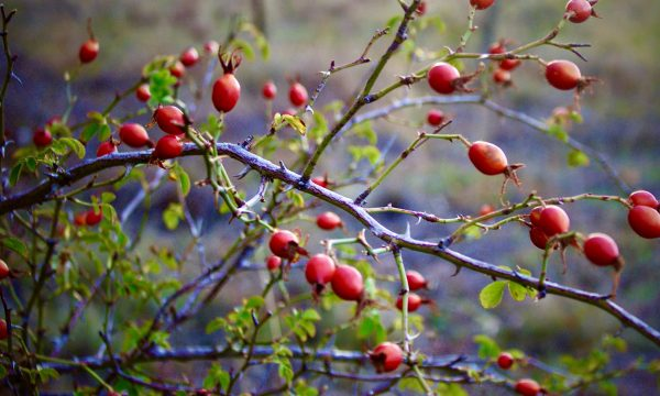 best rose hip extract