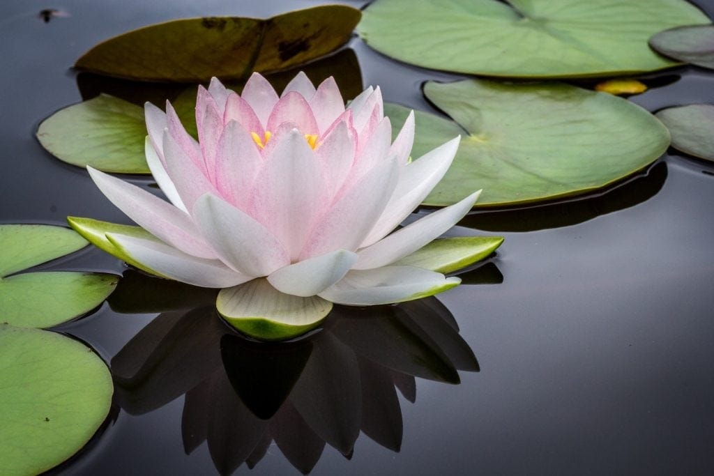haritaki benefits - Linden Botanicals