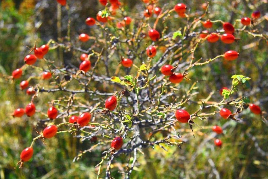what are rose hips - Linden Botanicals