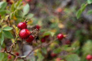 what is rosa rugosa - Linden Botanicals