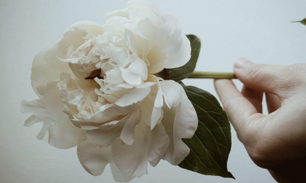 Paeonia suffruticosa - Paeonia lactiflora - White Peony Root - Linden Botanicals