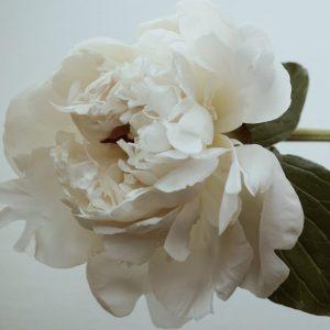 Paeonia suffruticosa - Paeonia lactiflora - White Peony Root - Linden Botanicals 2