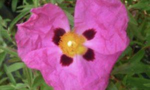 Cistus Incanus - Cistus creticus - Linden Botanicals - 35