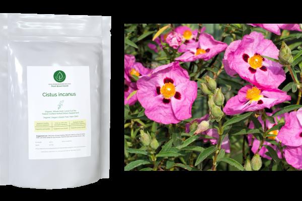 Cistus Incanus - Cistus Plant - Linden Botanicals