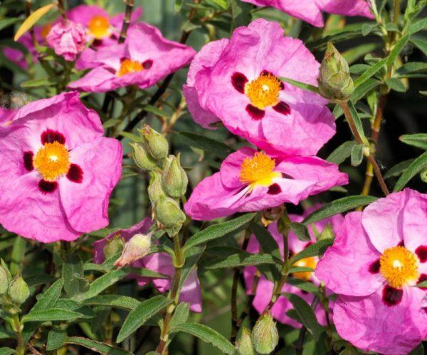 Cistus-Incanus-Linden-Botanicals-1024x682
