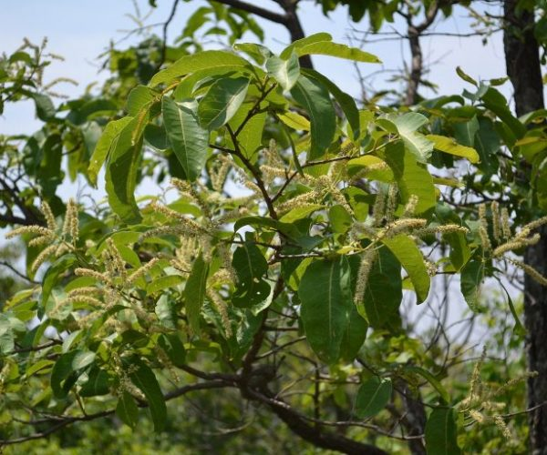 Terminalia_chebula_Leaves_and_flowers-768x512